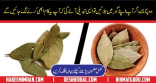 Bay Leaves - Tej Patta - Health Benefits of Bay Leaves in Urdu Hindi