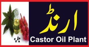 CASTOR OIL PLANT ارنڈ