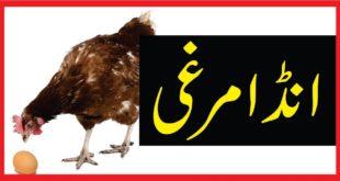 انڈا مرغی
