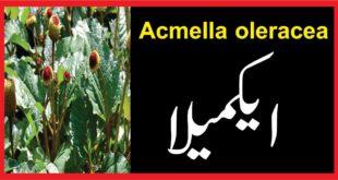 Acmella oleracea : ایکمیلا