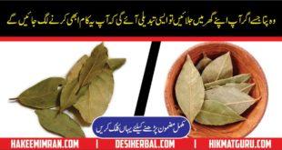 Bay Leaves - Tej Patta - Health Benefits of Bay Leaves in Urdu Hindi