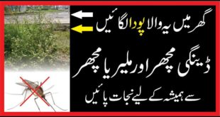 Dengue Machar|Malaria In Urdu| Malaria and Dengue| Sy Bacaho
